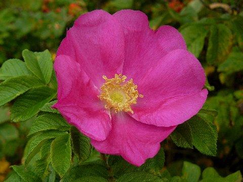 Ruusupensas